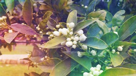 Flores de azahar para vencer la ansiedad de situaciones financieras complejas